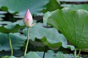 flor-em-botão-dos-lótus-15010992
